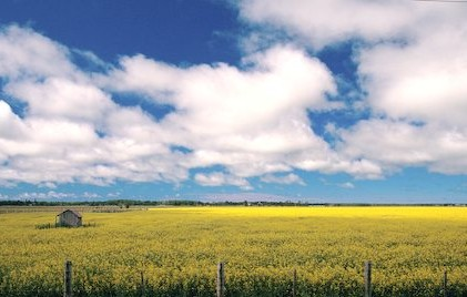 Canadian Canola Field